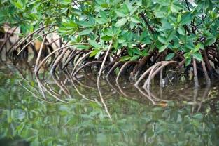 Mangrove. Placencia, Belize, Central America.
