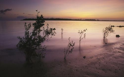 Mangrove tree (Rhizophoraceae fam.); Mafia Island, Tanzania