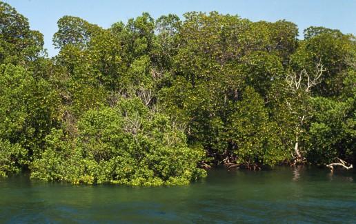 Mangrove tree (Rhizophoraceae fam.); Kiunga Marine National Rese